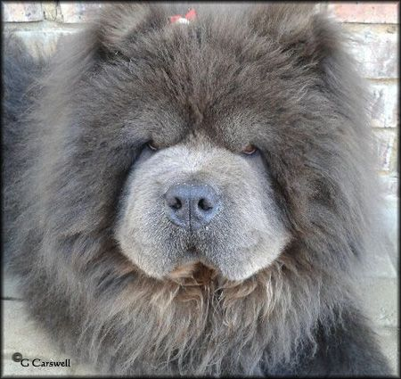 Blue Rough Chow Chow Ciao Xciting In Blue Dogs Chow Chow