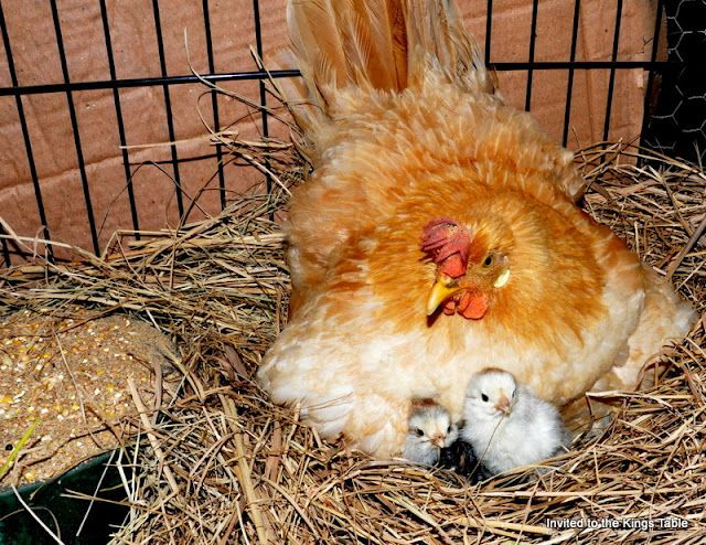 Broody Buff Leghorn with her newly hatched chicks!