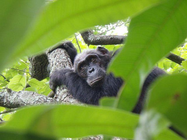 Gombe Project by The Jane Goodall Institute - Silverskin