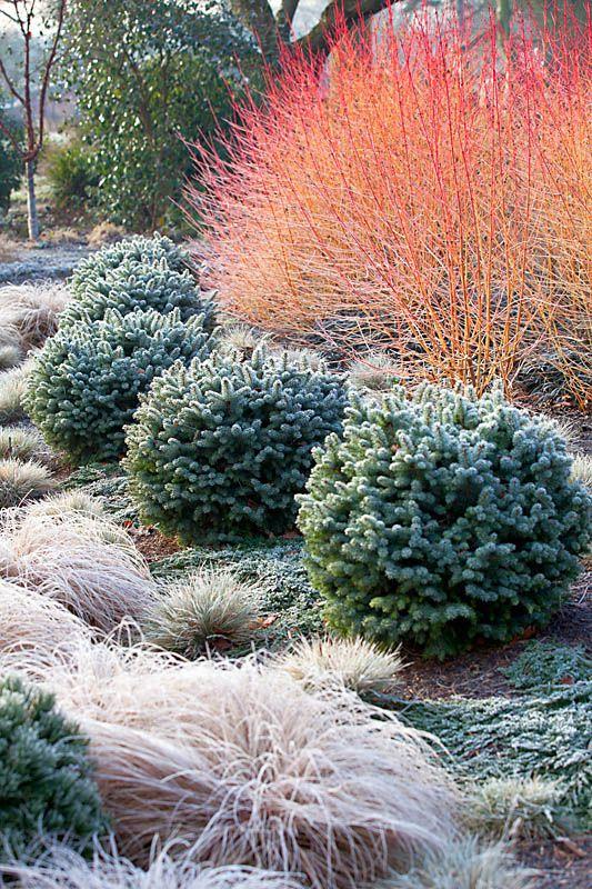 midwinter fire dogwood bushes