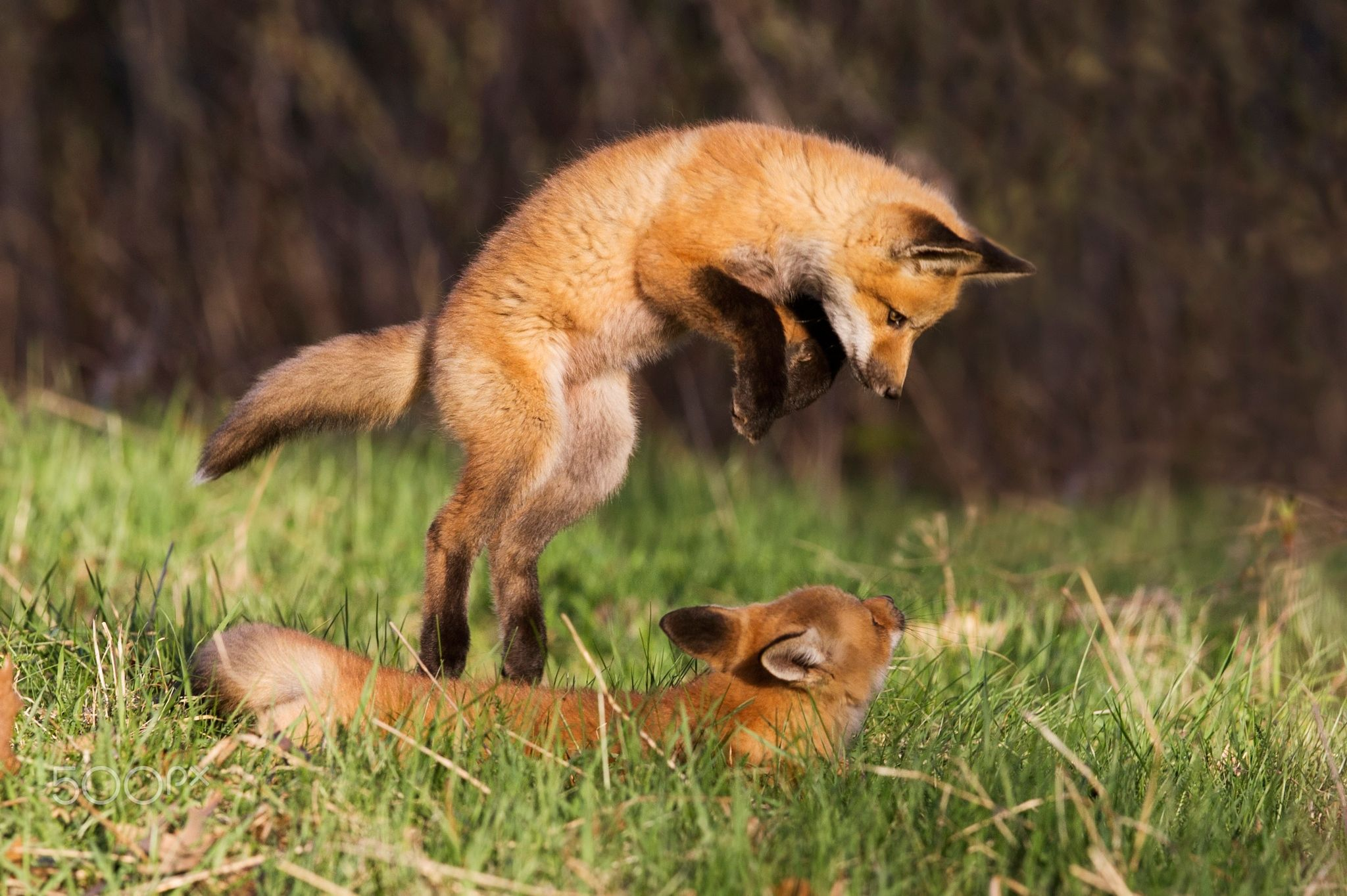 Playtime - Red fox pups in spring