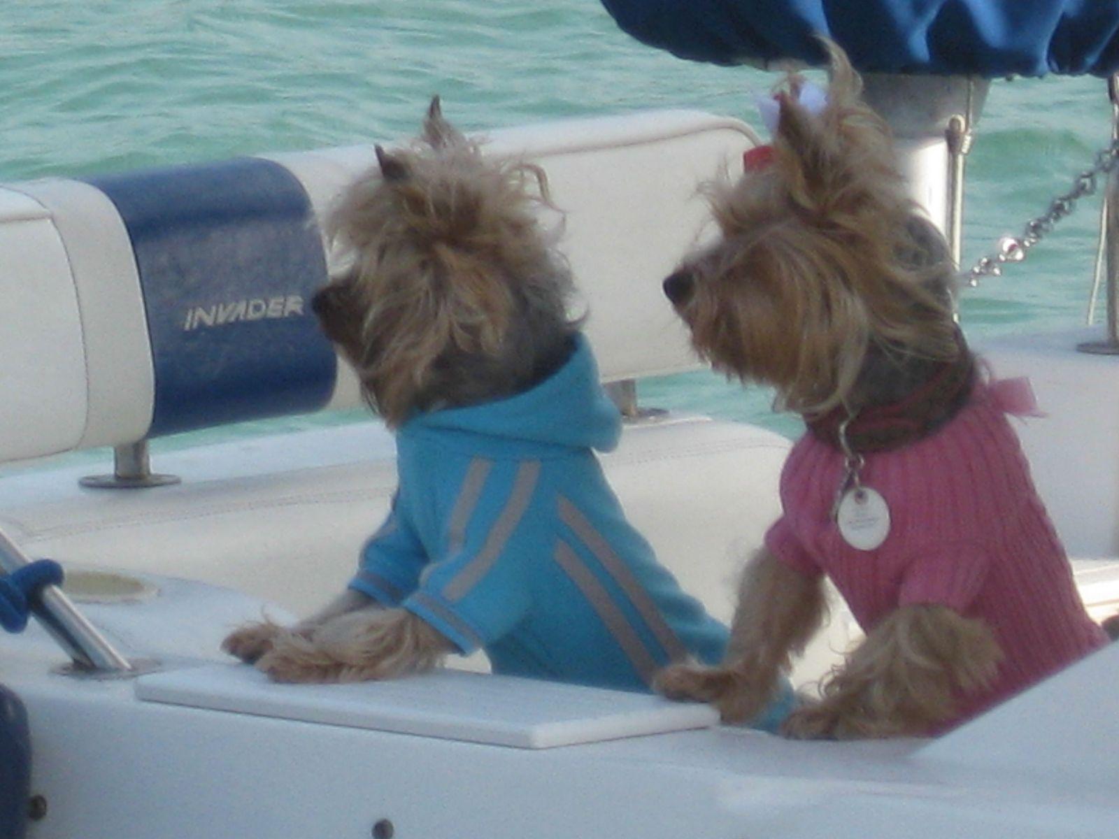 Love Boat Yorkies Yorkie Terrier Yorkie Lovers Yorkie