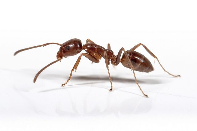 One of the most common type of ants in the world. Their genetic makeup is almost uniform, and colonies mix and mingle together, creating supercolonies that span country sized areas. See more at the wikipedia article. Argentine Ant. Flickr.com Photoshare.  These are the most prevalent ant in S. CA  As tough as they are to control, BEST Pest Control Co. is naturally, and organically TOUGHER!  310-322-5405