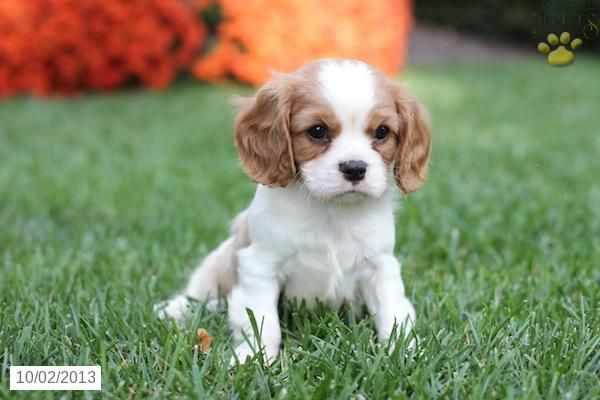Cavalier King Charles Spaniel Puppy For Sale King Charles Cavalier Spaniel Puppy Spaniel Puppies For Sale Cavalier King Charles Dog
