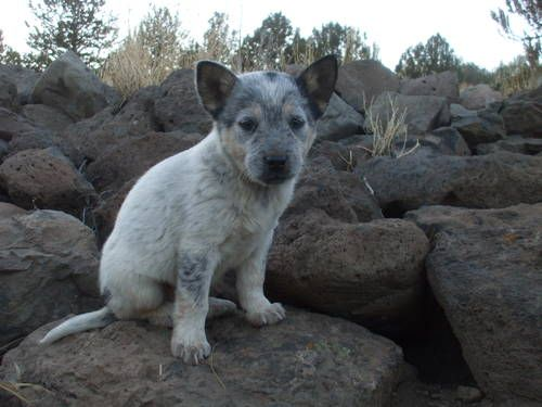 Dogs Puppies For Sale In Reno Ebay Classifieds Kijiji Page 1 Blue Heeler Puppies Heeler Puppies Cattle Dogs Rule