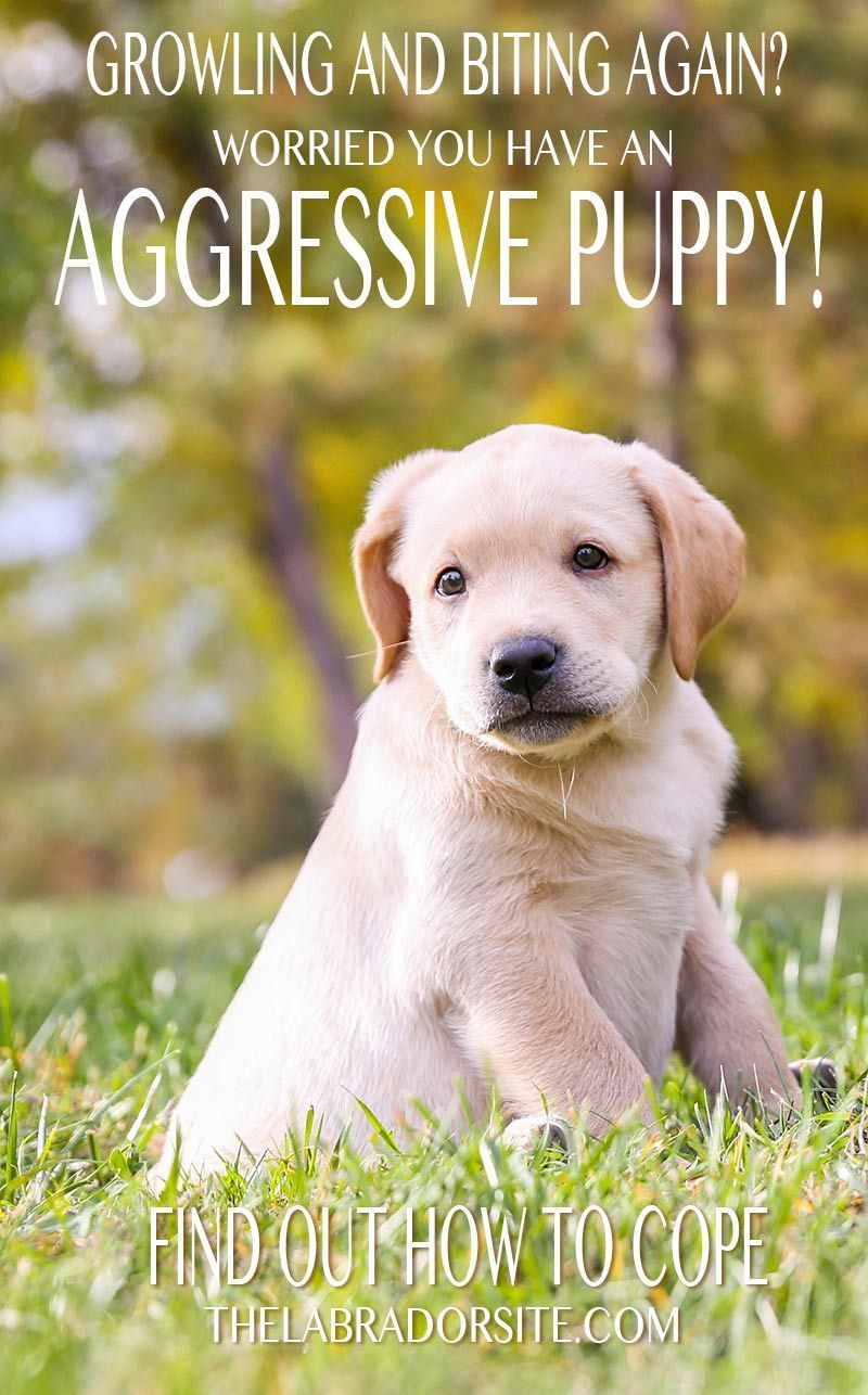 Aggressive Puppy How To Recognize And Treat Puppy Aggression