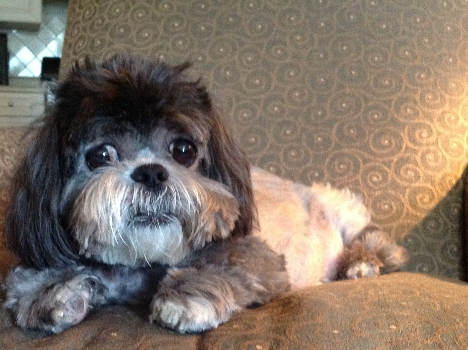 Precious phoebe!!! Dogs, Animals, Shih tzus