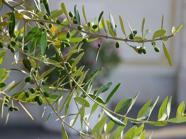 Olivenbaum Archive Mein Mediterraner Garten Olivenbaum Baum Olivenbaum Pflege