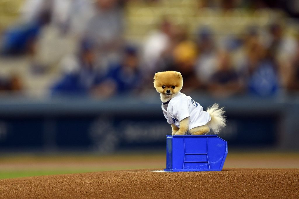 Jiff The Pomeranian Is Ready For The First Pitch On The Mound Before The Dodgers Vs Padres Mlb Game At Dodger Sta San Diego Padres Padres Los Angeles Dodgers
