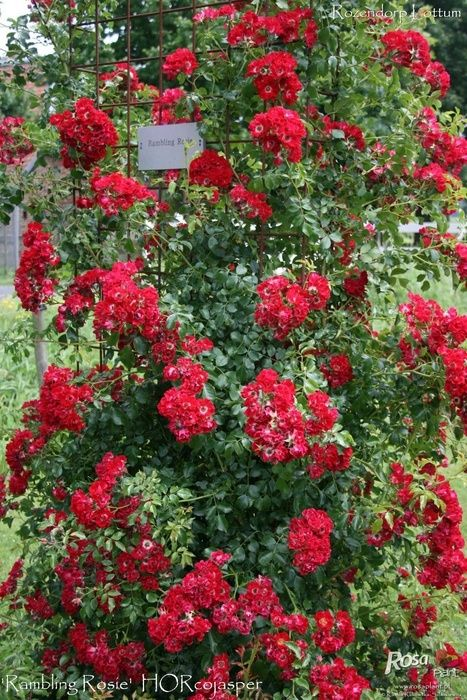 Jasmine Terrace: Rambling Rosie Climbing Rose