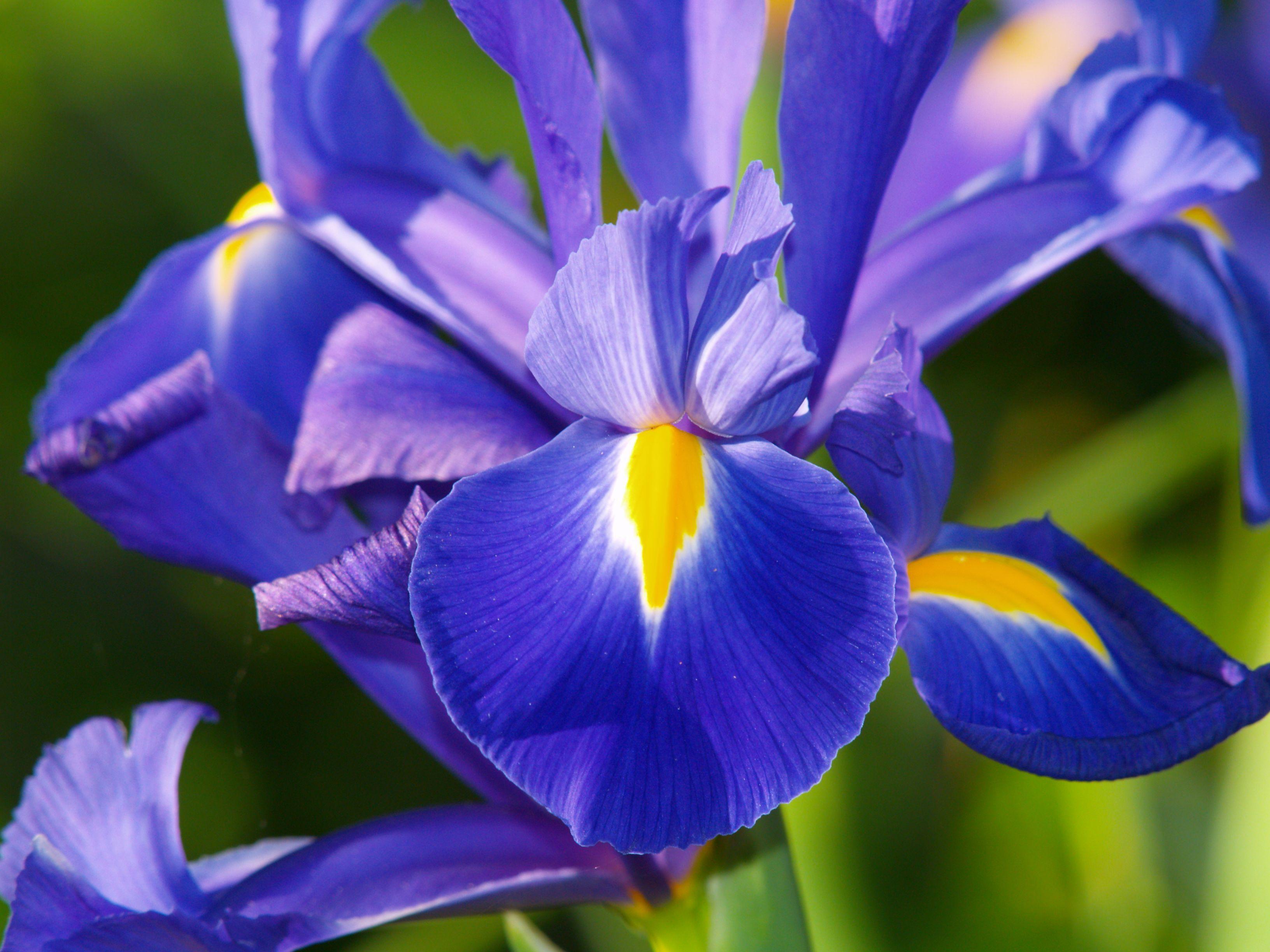 lírios azuis