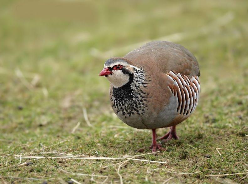 Perdiz Rufa Aves Ornamentais Perdiz Codorna Fazenda Visconde Aves Imagenes De Caza Perdiz