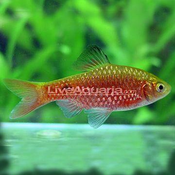 Rosy Barb Male Aquarium Fish Freshwater Aquarium Fish Freshwater Aquarium