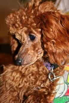Pin By Marianne Hinson On Dogs Toy Poodle