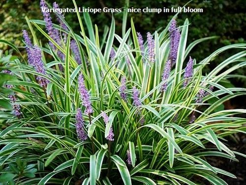 Grass variegated liriope size 2 grasses gardens and for Variegated grass plant