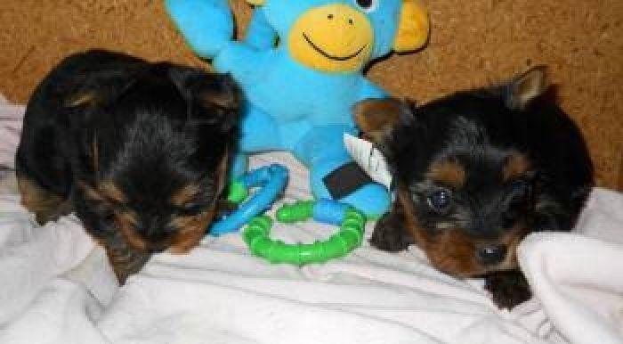 Page Not Found Yorkie Puppy Yorkie Puppies
