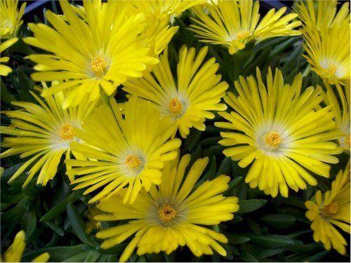 Yellow Ice Plant Perennial - 8 Plants - Delosperma - $17.99