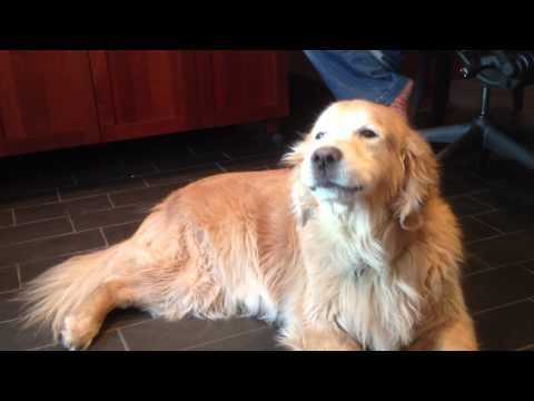 My Boyfriend's Dog...either really LOVES or HATES Evanescence....You decide! Love this singing golden retriever.