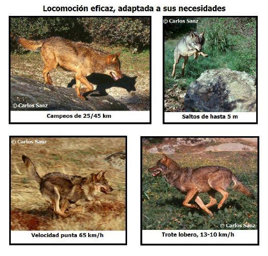LOBO IBÉRICO -Canis lupus signatus-