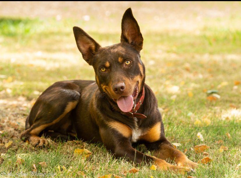 Competition to crown australias hardest working farm dog