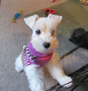 Just Can T Decide Between White Or Salt Pepper Coco The Toy Schnauzer At 8 Mths Schnauzer Puppy Schnoodle Miniature Schnauzer Puppies