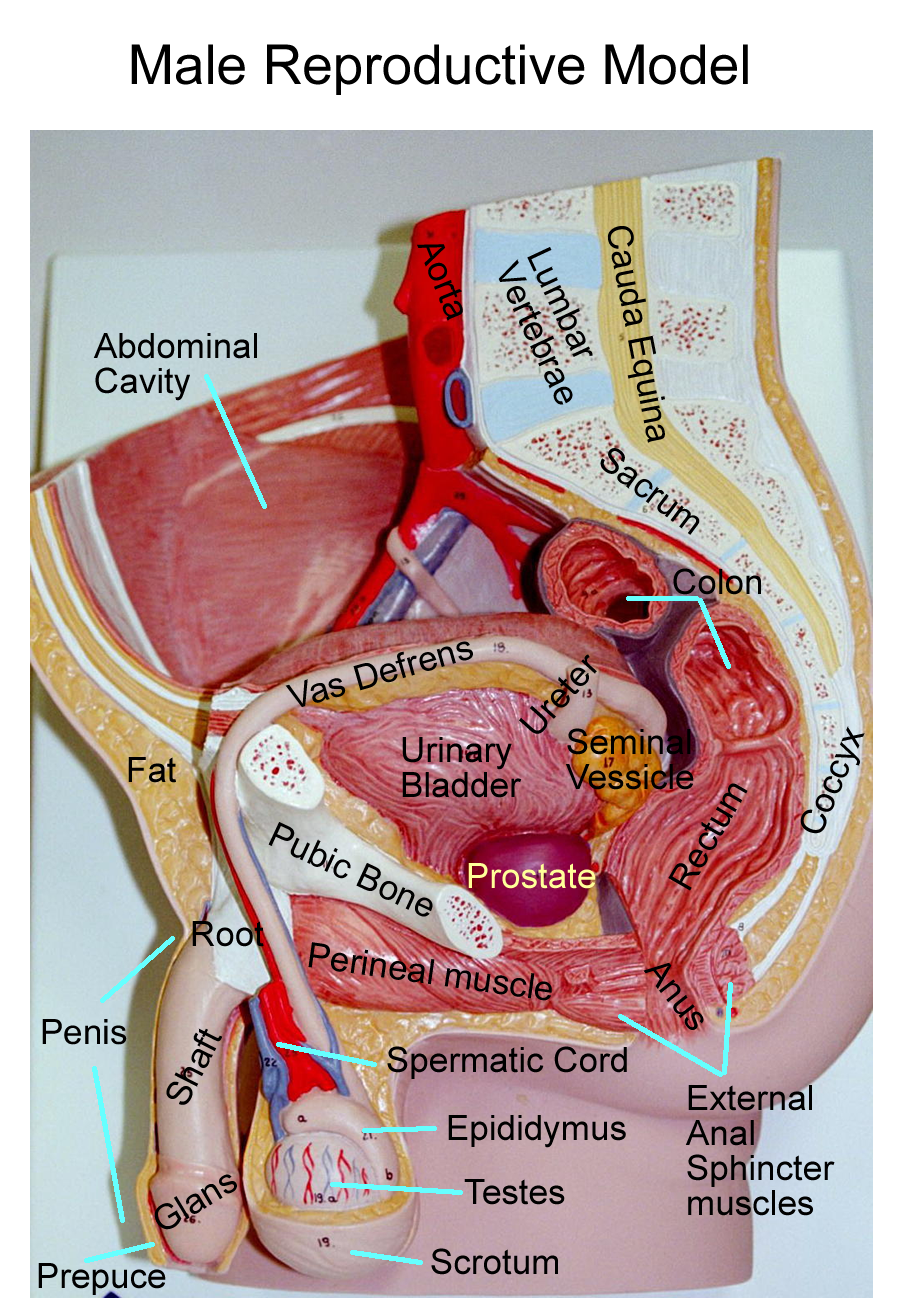 Anatomy of male urinary system