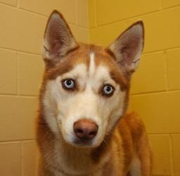 Shannon Is An Adoptable Siberian Husky Dog In Clarksville Tn