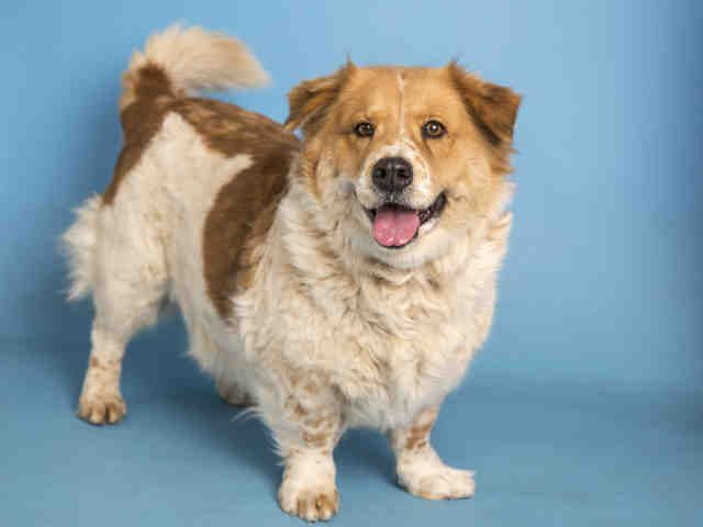 Australian Cattle dog mix available for adoption at