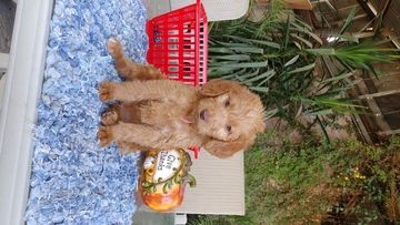Litter Of 6 Labradoodle Puppies For Sale In Fresno Ca Adn 47738