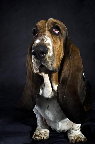 The Basset Hound One Of Six Recognized Basset Breeds In France