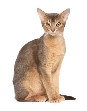 abyssinian cats catbreeds animalssale  cat breeds