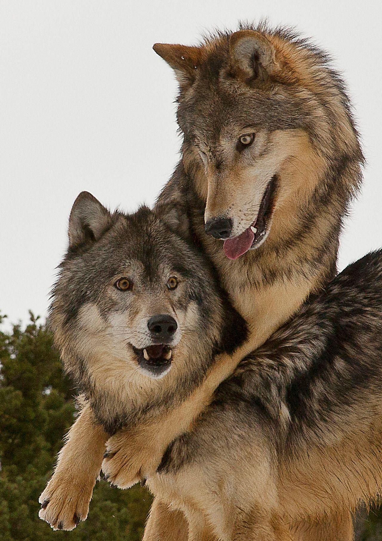 "Wolves - ,, BEAUTIFUL """