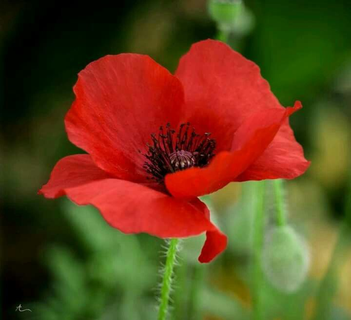 Amapola Oil Paintings Pinterest Poppies Red Poppies And Flowers