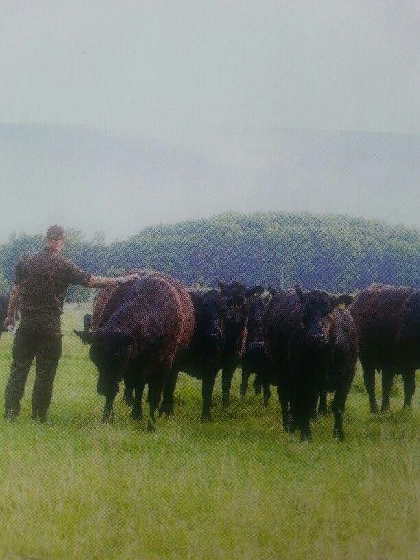Beautiful Angus Cows..