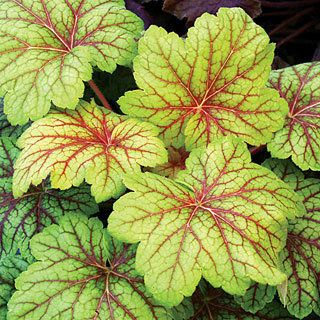 Heuchera (Coral Bells) 'Electric Lime' The big sister to 'Electra', this gorgeous new Coral Bells sports red veins on huge, intense lime-colored leaves.