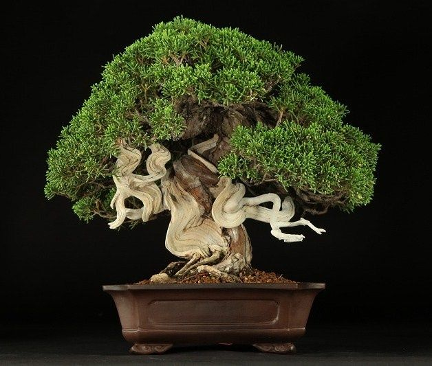 Bonsai tree perfect tree to have in a house. Getting one of these one day when I go to Japan.