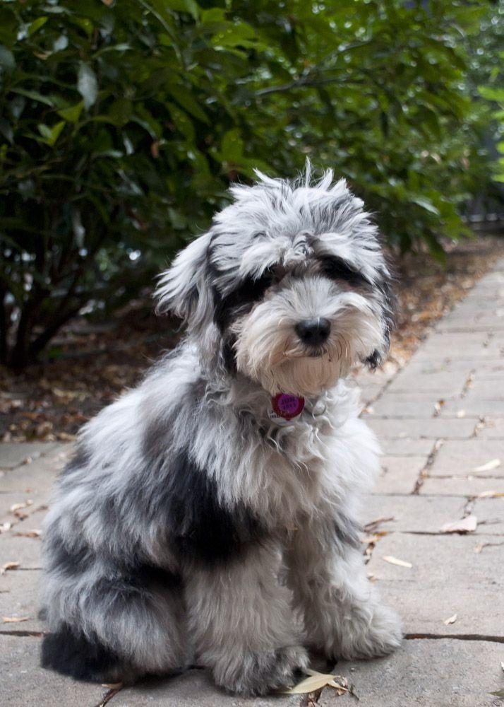 A Mini Aussiedoodle So Cute Aussiedoodle Puppy Photos Cute Dogs