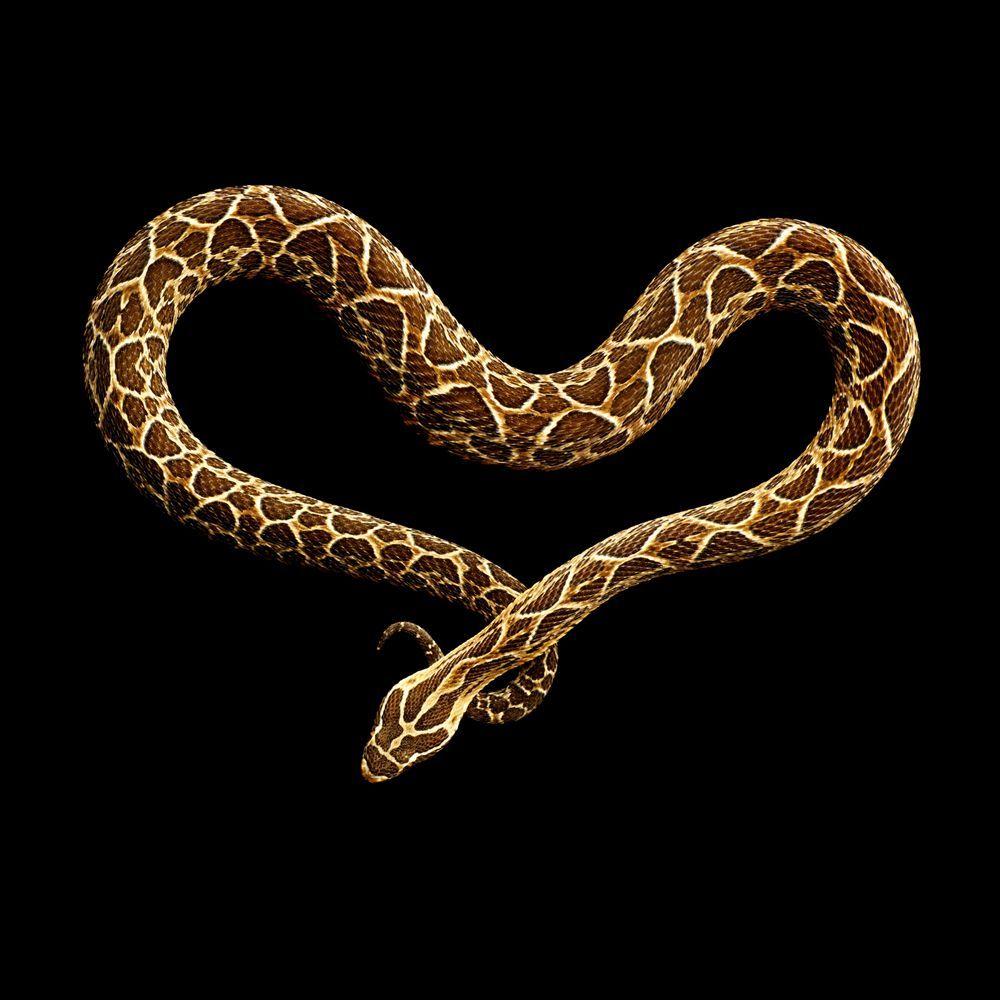 ブラックを背景に ファッショナブルなスタジオ A Href Tag Photograph 写真 A のように撮影されたヘビ 12種の写真を紹介 アフリカ最長の毒ヘビに噛まれたりしながらも撮影されたものだ 美しいヘビ ヘビ ヘビアート