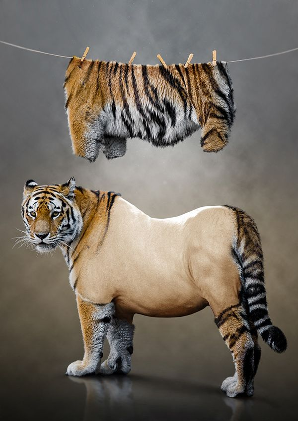photo manipulation tiger undressed photo manipulation tigers and behance. Black Bedroom Furniture Sets. Home Design Ideas