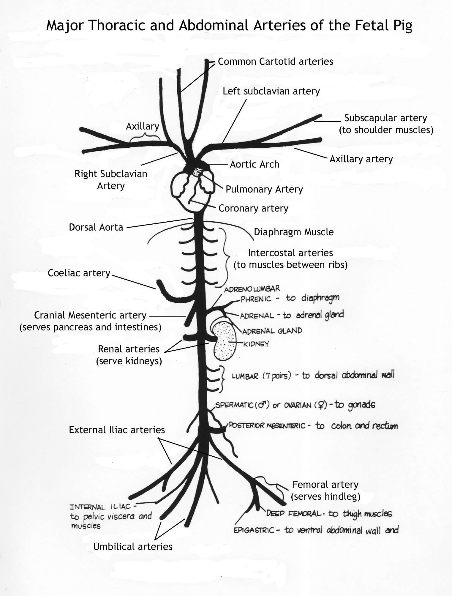 Arteries Of The Body Diagram | Nursing | Pinterest