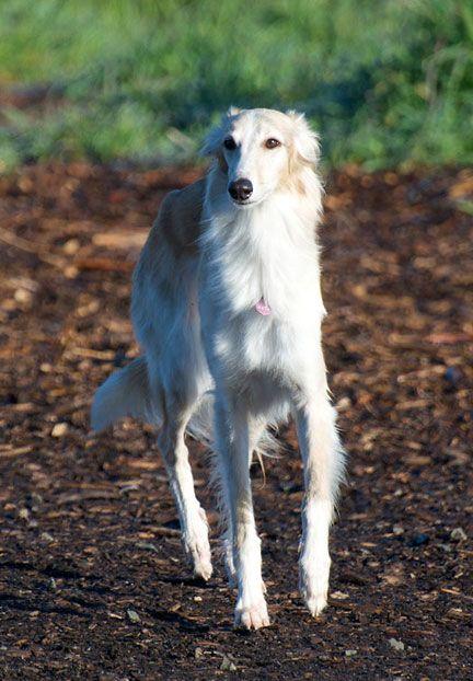 A Silken Windhound Called Maya A Mini Borzoi Sized Between An