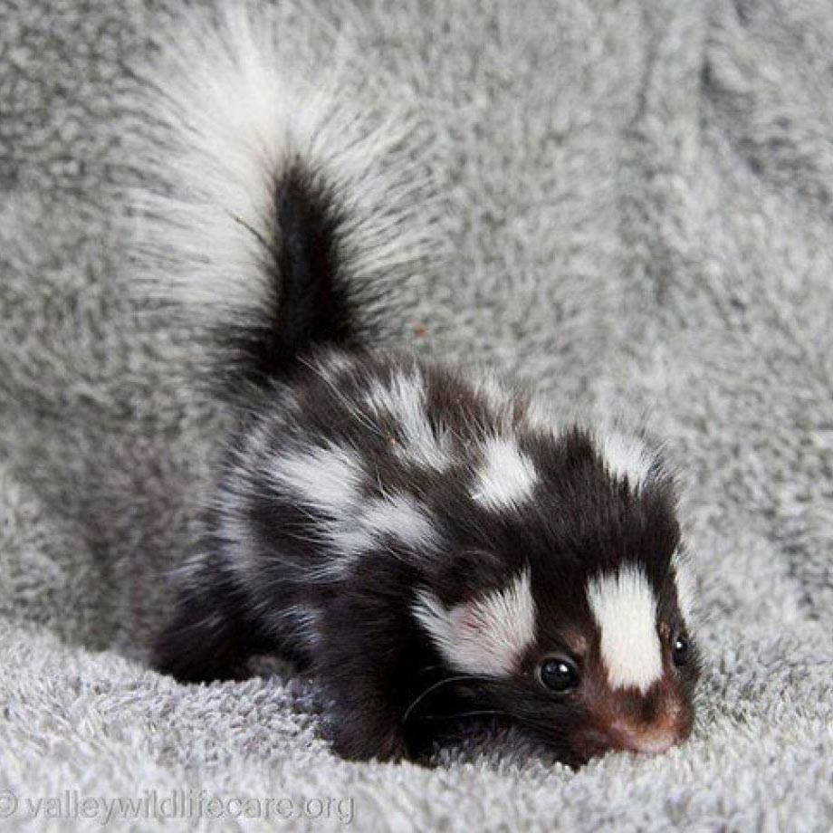 baby skunks are probably one of the most adorable things in the