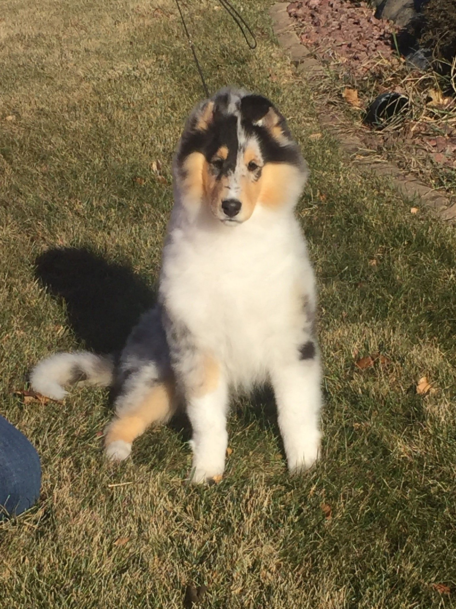 Wyndlair Classique Envision Blue Merle Collie Puppy Sitting In The Sun Collie Puppies Blue Merle Collie Rough Collie