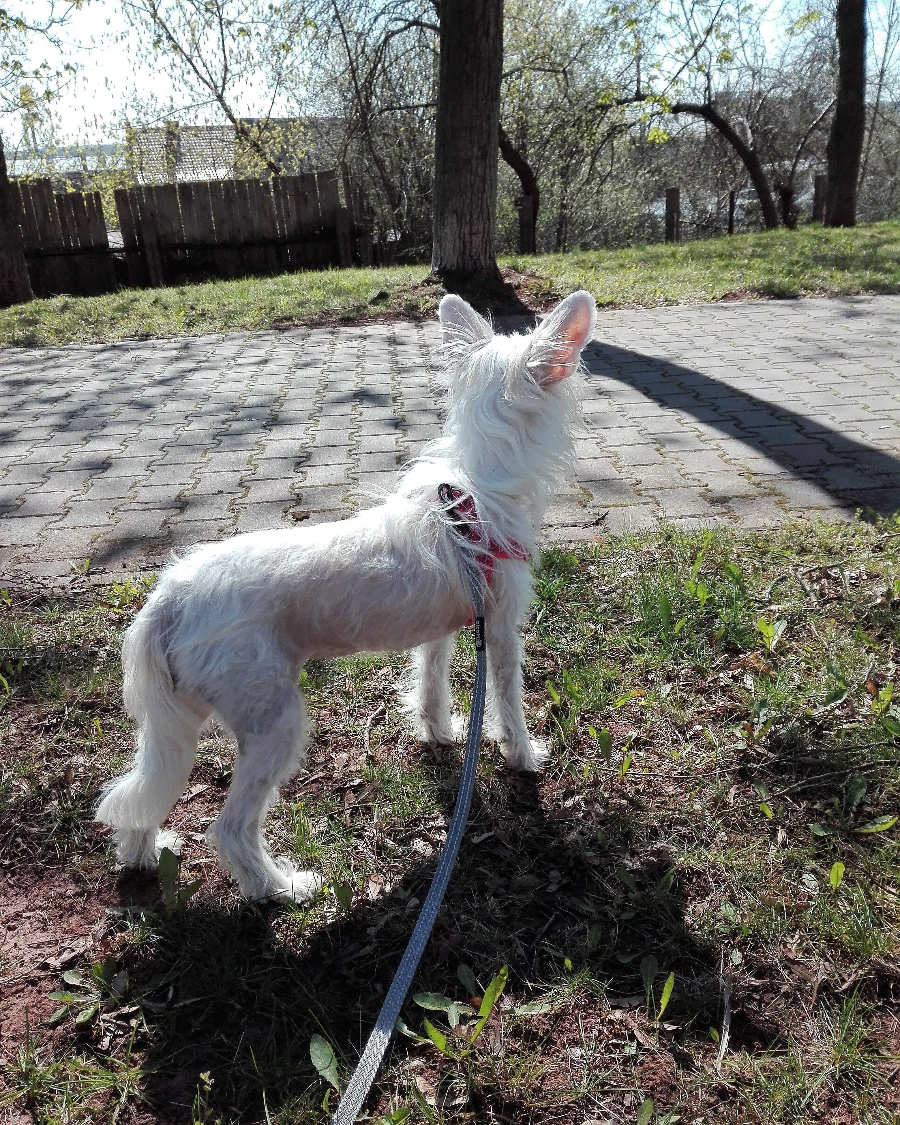 Chinese Crested Dog Grzywacz Chinski Starachowice