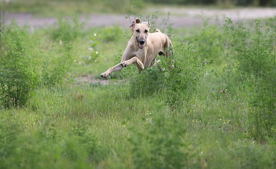 My Sloughi Boy Saroukh Bohemia Genao Greyhound Adoption Beautiful Dogs Dogs
