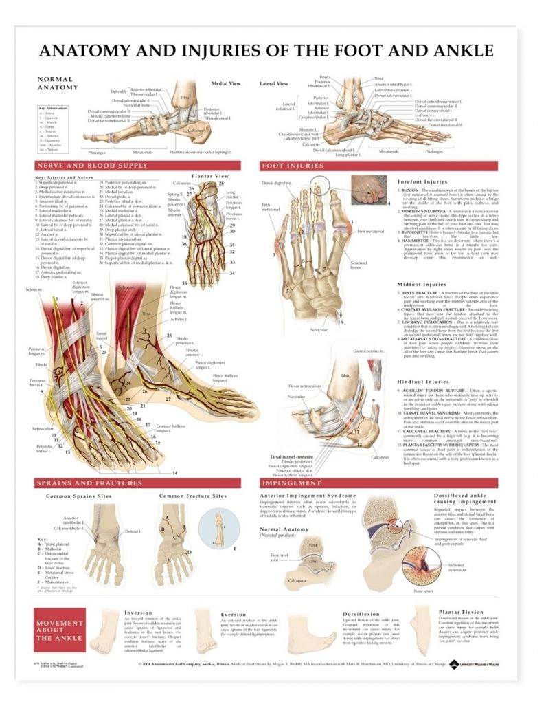 Anatomy Of Foot Ankle Anatomy And Injuries Of The Foot And Ankle ...