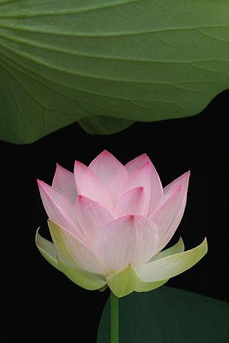 Lotus Flower - IMG_8442