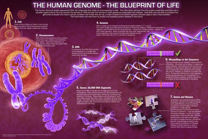 The human genome the blueprint of life human genome blueprint the human genome the blueprint of life human genome blueprint life malvernweather Images