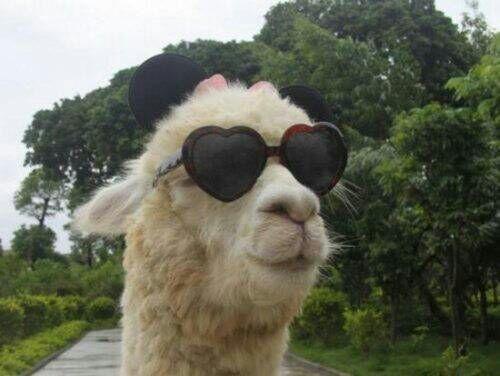 Afbeeldingsresultaat voor alpaca with glasses