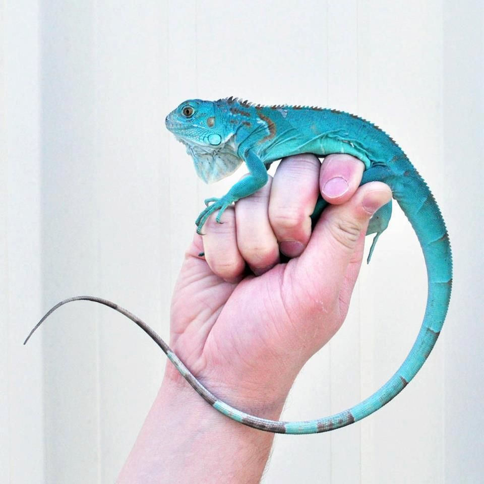 The Rare Blue Iguana Of Caymans